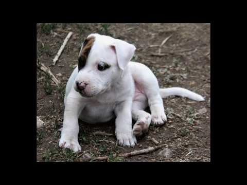 Understanding your Pit Bull Terrier's body language