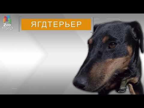 ягдтерьер - интересный собак!