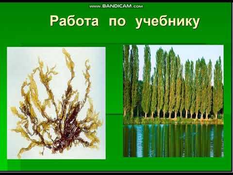 Вопрос: Как называется разновидность капусты (4 буквы)?