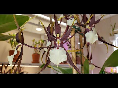 Орхидея колманара уход в домашних условиях