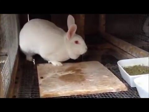 Meat Rabbits - What you need to know.