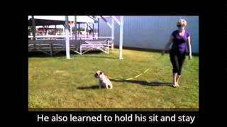Talented K9 - Tank The English Bulldog Mix Learns To Sit And Stay!