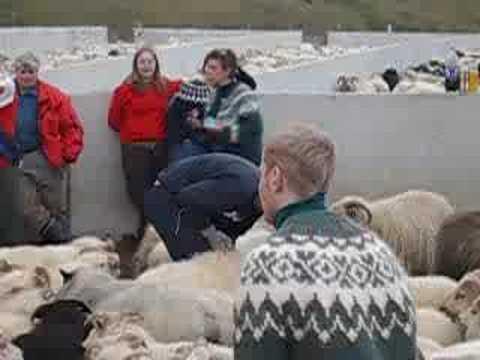The Best 'Urban Farmer' in Iceland in Sheep Gathering - Gongur Rettir