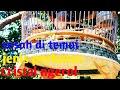 Perkutut Lokal Cristal Ngerol Mojopahit Sudah Langkah Di Tanah Jawa  Mp3 - Mp4 Download