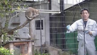 10月8日はツシマヤマネコの日ということで、ゴクウへ会いに福岡市動物園へ vol.7 ツシマヤマネコ 検索動画 30