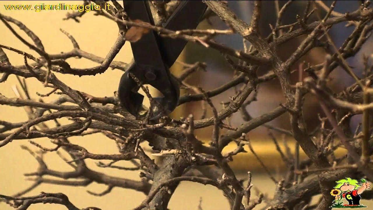 Potare Il Ficus Elastica potare bonsai - ficus - come potare bonsai