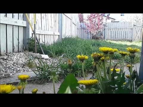 time-lapse of dandelions, an example of...