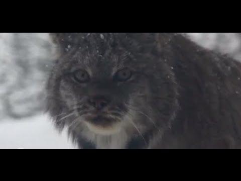 Canada lynx: wildlife celebrity