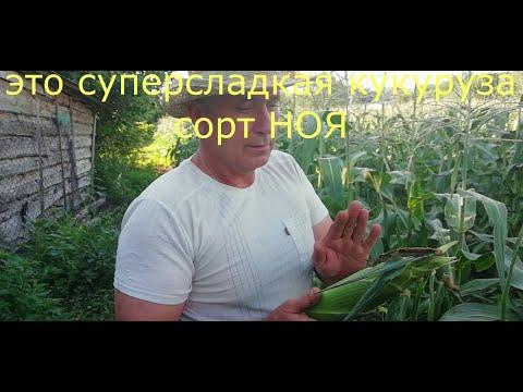 Сладкая кукуруза БОНДЮЭЛЬ, в чем отличие от кормовой. Как выбрать сладкую кукурузу.