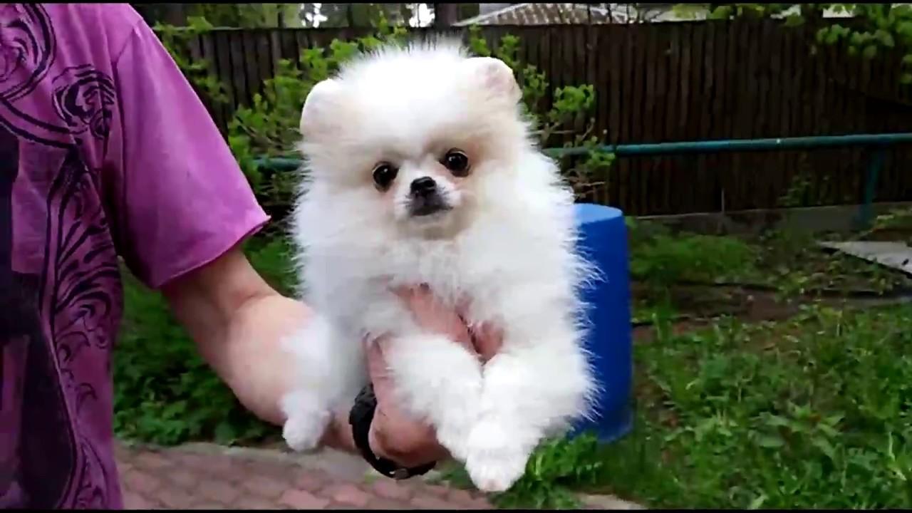 обучение стрижки собак видео уроки. Шпиц - YouTube
