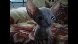 Как выглядит котенок Донского сфинкса. Флок(велюр)