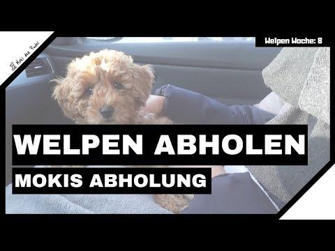 Welpen Abholen - Moki Der Zwergpudel Wird Abgeholt
