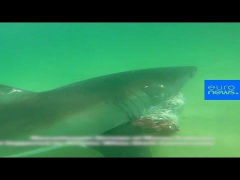 شاهد : هجوم دموي لقرش أبيض كبير يفترس فقمة  - نشر قبل 2 ساعة
