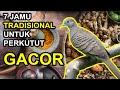 Jamu Tradisional Burung Perkutut Agar Lebih Cepat Gacor Dan Manggung  Mp3 - Mp4 Download