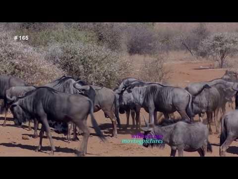 African Wildlife Photo Safari- 6   _Herd of Wildebeests     _(vid-165)