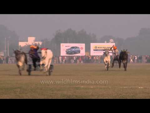 Amazing traditional sports, Bullock cart race : Ludhiana, Punjab