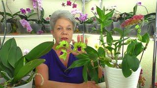 Превикур Лечит и СПАСАЕТ Орхидеи СТРАШНОЕ КИНО Из жизни Орхидей Фаленопсисов Денрофаленопсисов