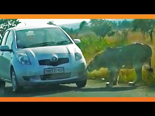Lion Bites Tire Causing it to Explode