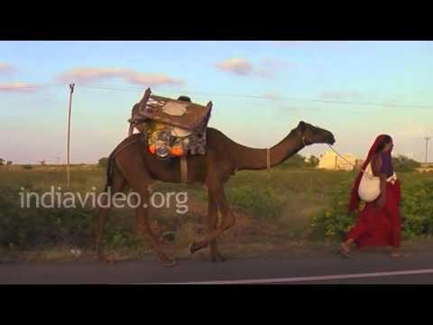 Camels and Gypsies in Dwarka, Gujarat
