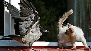 Как кошки боятся мышей и птиц! Видео приколы!(Как кошки боятся мышей и птиц! Видео приколы! Кошки и смешное видео про них, развеселят вас! В этих разнообра..., 2016-01-30T12:57:53.000Z)