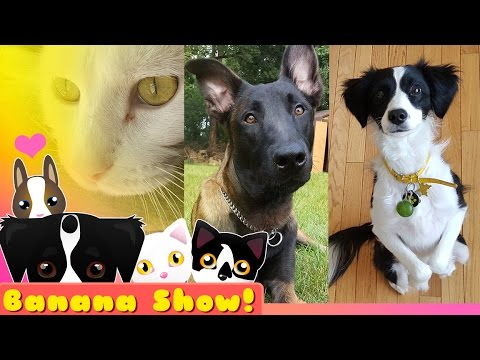 Banana Talking Dog Show Ep: 03 | New dogs!? The MALIGATORS!