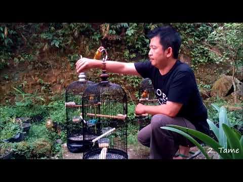 Lovebird - Three Character Lovebird Adoption