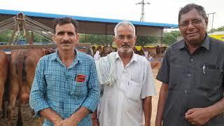 gir cow sell out (nosal) sikar…