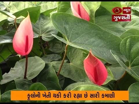 Anthurium flower farming is a new concept now a days