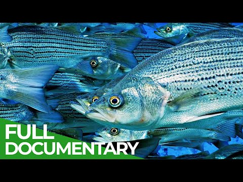 Wildlife Instincts: The Dangerous & Deadly Journey of the Florida Mullet | Free Documentary Nature