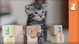 Cutest Rescue Kitten Learns his ABCs with Baby Blocks!  Kitten Love
