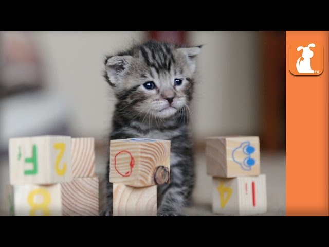 Cutest Rescue Kitten Learns his ABCs with Baby Blocks! - Kitten Love