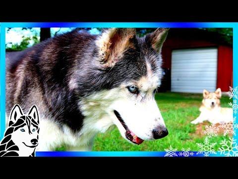 IS OAKLEY FAT ? Fat or Fluffy Husky | #AskGTTSD | Fan Friday 266 Q&A
