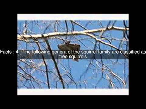 Classification of Tree squirrel Top 6 Facts