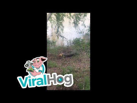 Dog Vs. Crocodile at Goat Island in Australia || ViralHog