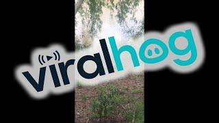 dog-vs-crocodile-at-goat-island-in-australia-viralhog