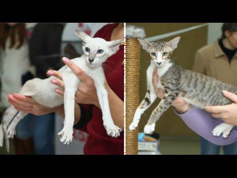 Сиамские  и Ориентальные Кошки, Породы Кошек