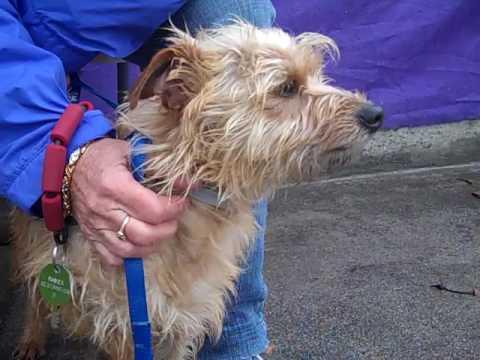 A5021377 Alan   Norfolk Terrier Mix