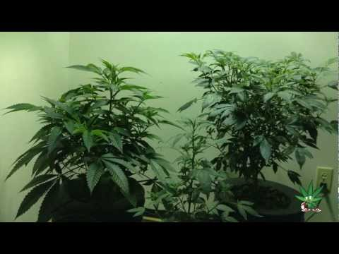 DWC using (High Output Gardens) Nutrition
