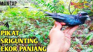 Gambar cover 🔴PIKAT BURUNG SRIGUNTING EKOR PANJANG SERU BANGET
