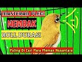 Masteran Pleci Roll Durasi Masteran Pleci Paling Di Cari Masteran Pleci Mewah Masteran Jawara  Mp3 - Mp4 Download