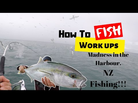 Feeding Frenzy Fishing In The Harbour Nz Kingfish And Snapper