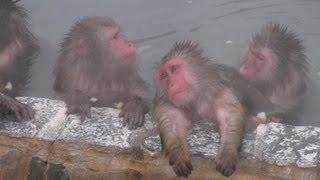 北海道函館市の湯の川温泉街にある市熱帯植物園のサル山の温泉プールで...