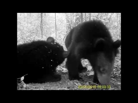 Asian Black Bears playing in the jungle