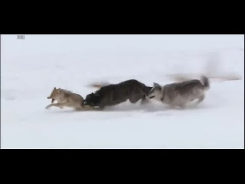 Wolves vs coyote [HD] - YouTube
