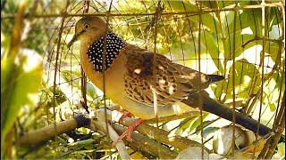 ต้นฉบับเสียงนกเขาใหญ่1กุก ใหม่ล่าสุด คูเสียงใหญ่ เรียกคารม เสียงเปิดต่อนก2563 ต่อเก่ง เข้าดี100%