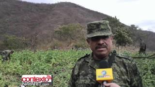Militares aseguran hectáreas de flor de amapola, explican como sacar la goma de opio