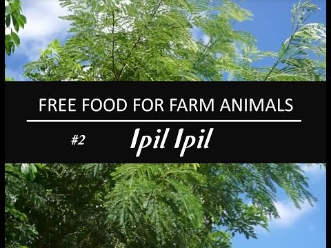 FORAGE PLANT SERIES | Free Food for Livestocks | Ipil Ipil