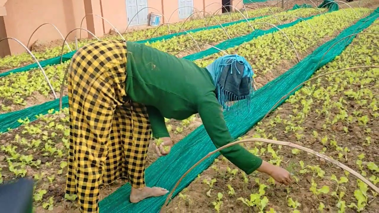 How to grow vegetable in countryside for daily life