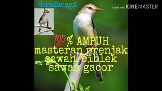 Download Mp3 Suara Pikat Prenjak Sawah / Ciblek Sawah Gacor Full