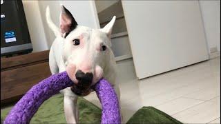 遊んで欲しくておもちゃを持ってきた桜風☆ 引っ張り合いで勝負♪ なかな...